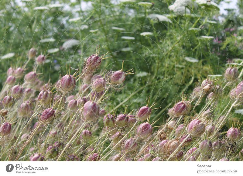 Jungfer im Grünen Pflanze grün Sommer Umwelt Blüte natürlich außergewöhnlich Stimmung rosa Feld elegant Idylle ästhetisch Ausflug Schönes Wetter rund