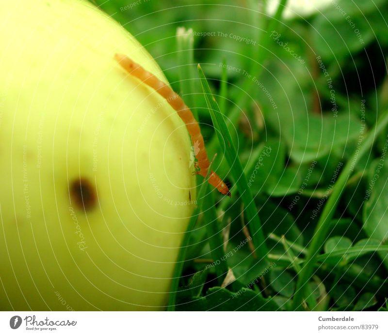 rent my apple? Insekt Ekel feucht klein langsam Gras grün schön rund lecker frisch saftig braun gelb Sommer Physik Sonnenstrahlen blau Blume Wurm Wohnung Heimat