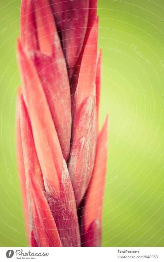 Red canna Umwelt Natur Pflanze Sommer Blume Blatt Blüte leuchten ästhetisch exotisch grün rot Canna Topfpflanze Beleuchtung Farbe Farbfoto Gedeckte Farben