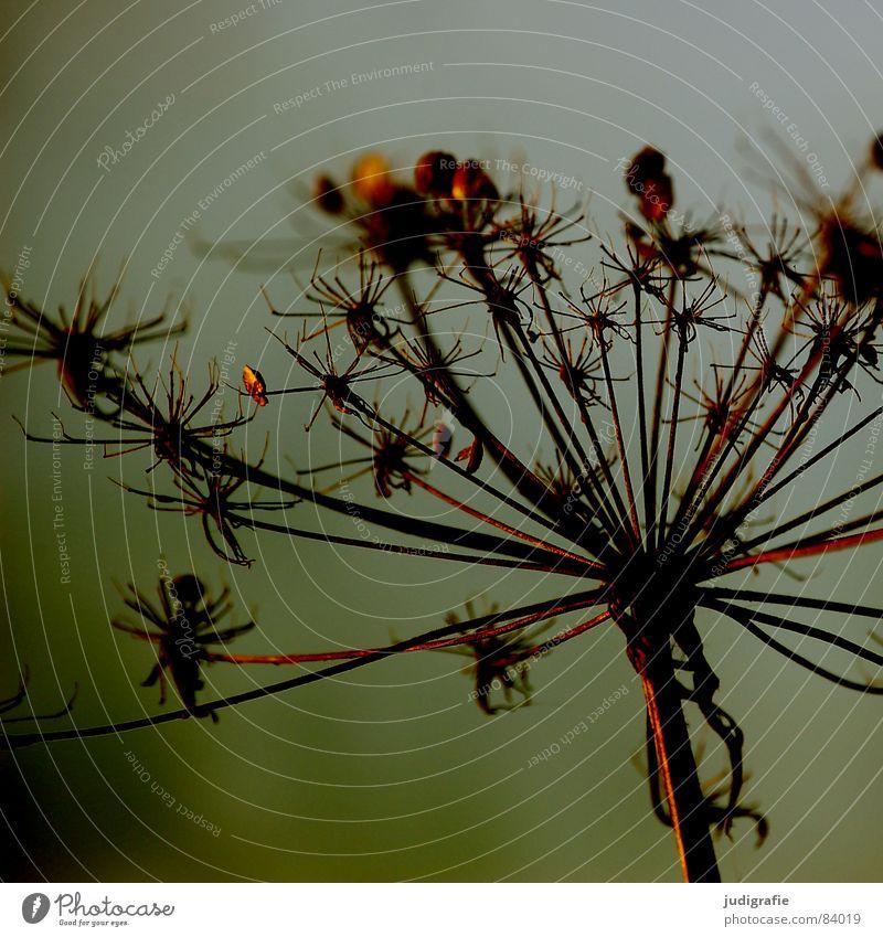 Sterne See Pflanze trocken Dill stachelig Doldenblütler Tod Pflanzenteile welk Wildpflanze Umwelt Botanik Naturphänomene Herbst Vergänglichkeit getrocknet