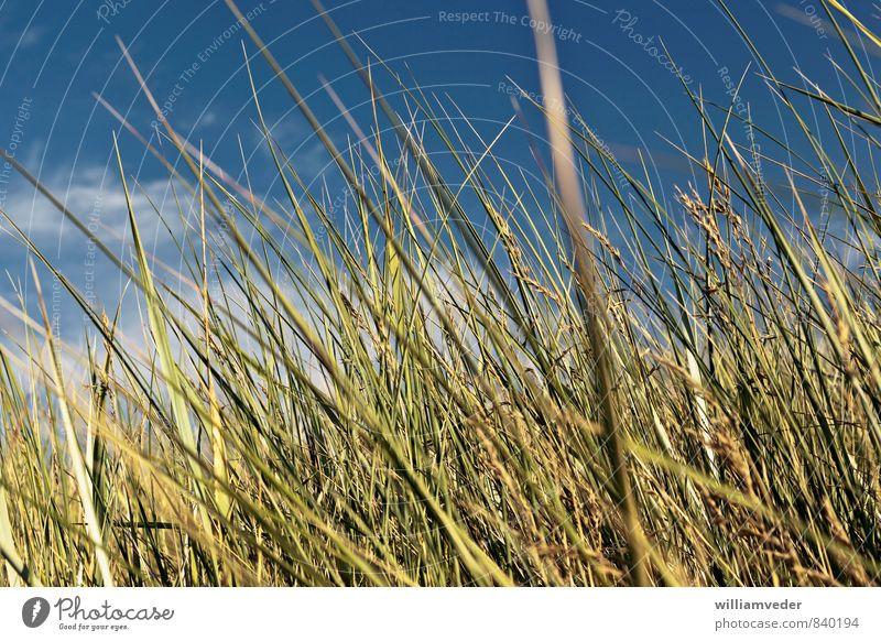 Grünes Dünengras mit blauem Himmel Wellness harmonisch Wohlgefühl Zufriedenheit ruhig Meditation Duft Ferien & Urlaub & Reisen Tourismus Ausflug Freiheit Sommer