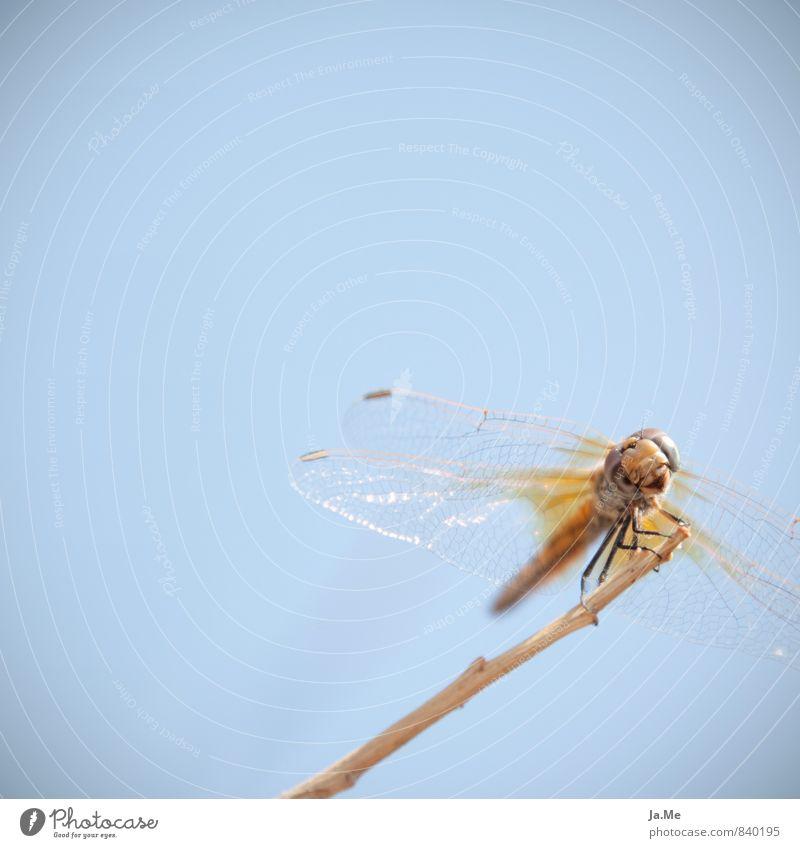 Cheese :) Natur Tier Luft Himmel Wildtier Tiergesicht Flügel Insekt Libelle Libellenflügel 1 glänzend Freundlichkeit blau gelb gold Neugier Interesse Farbfoto