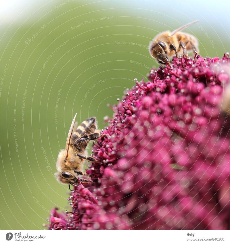 emsig... Umwelt Natur Pflanze Tier Sommer Schönes Wetter Blume Blüte Garten Nutztier Biene 2 Arbeit & Erwerbstätigkeit Blühend ästhetisch authentisch klein