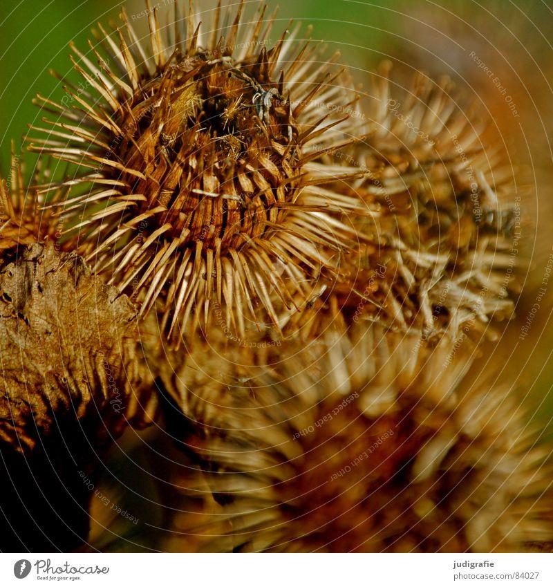 Distel stachelig Pflanze Igel schön Herbst schwarz rund Widerhaken Haken glänzend wehren Korbblütengewächs Wildnis Umwelt Wildpflanze Vergänglichkeit wehrhaftig