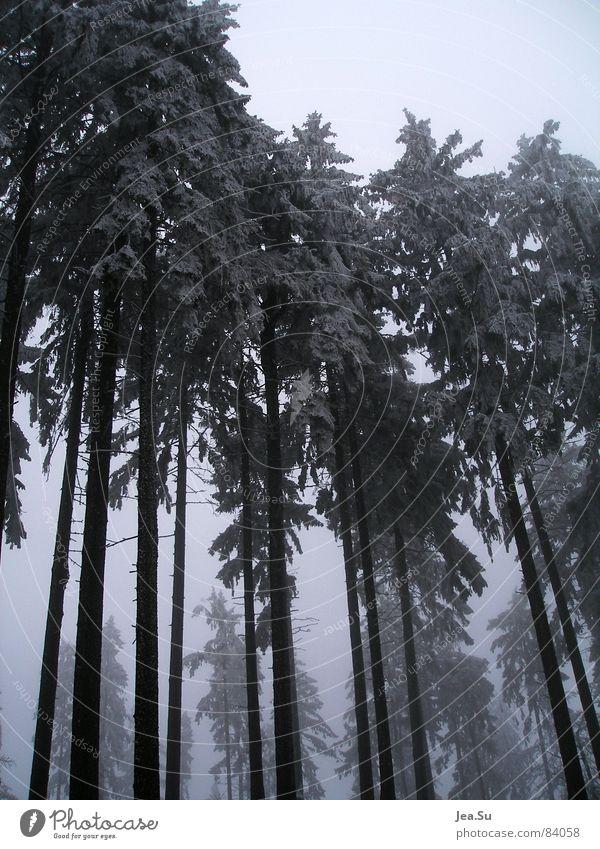 Giganten Baum Winter Wald kalt Schnee Eis groß Macht Monster Größe gigantisch gewaltig Dimension Ungeheuer