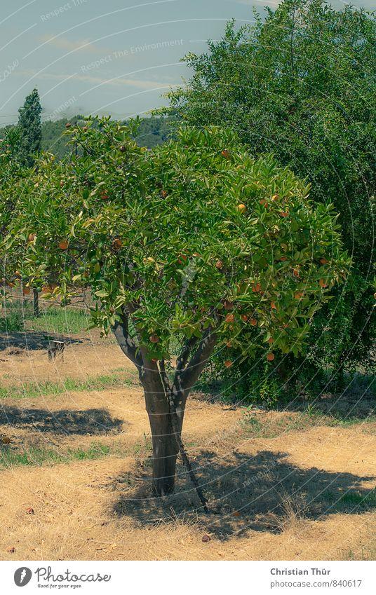 Orangenbaum / Spanien Marmelade Bioprodukte Limonade Glühwein Gesundheit Wohlgefühl Zufriedenheit Sinnesorgane Erholung ruhig Meditation Tourismus Ausflug