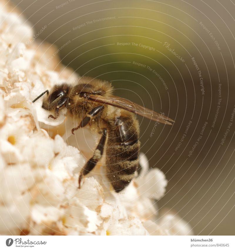 tiefgründig Pflanze Blüte Sommerflieder Nutztier Wildtier Biene Honigbiene Insekt Blühend Fressen klein natürlich schön feminin weiß bestäuben tragen Sammlung