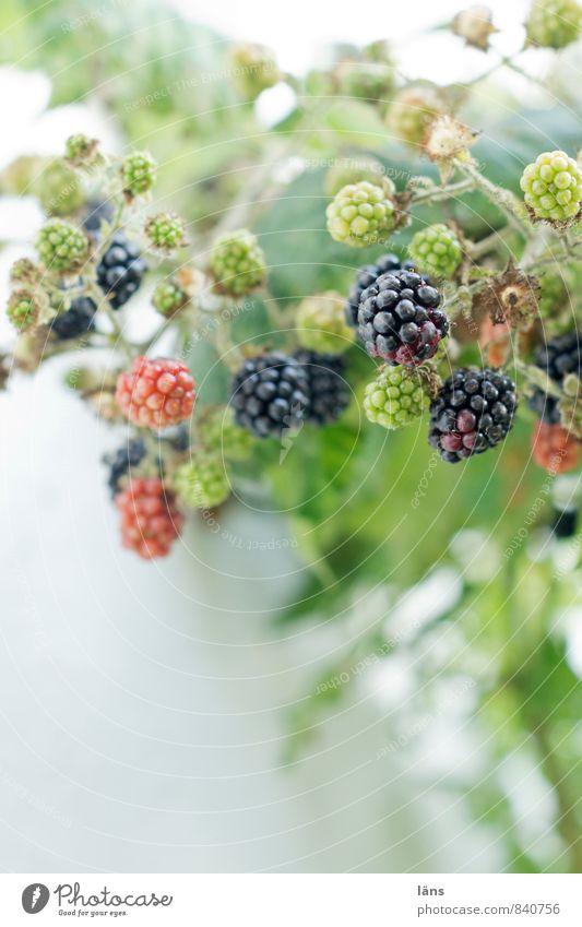 Brombeeren Lebensmittel Frucht Natur Sommer Pflanze Wildpflanze Wachstum dunkel Gesundheit natürlich grün reif unreif vitaminreich Vitamin C lecker Farbfoto