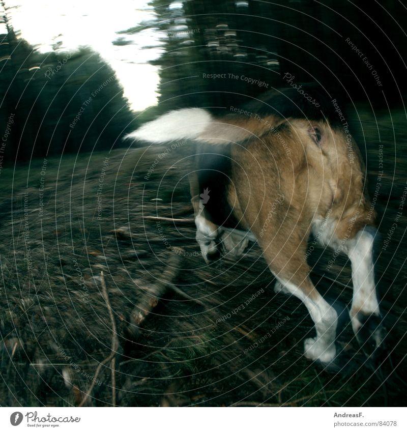 der Nase nach Fuchsjagd Jäger Hund Wald Waldboden Fußweg Gefühle verfolgen Beagle Jagdhund Hinterteil Pfote Schwanz Fährte Spaziergang Spielen Geschwindigkeit