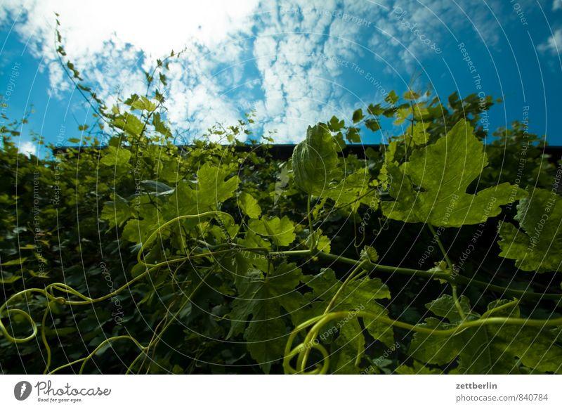 Wein Weinranken Ranke Wachstum Pflanze Grünpflanze Kletterpflanzen Textfreiraum Himmel Wolken Froschperspektive Sommer Blatt Ast Zweig Weingut Weinlese