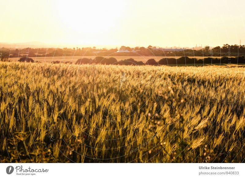Campo di grano sardo Natur Ferien & Urlaub & Reisen Pflanze Landschaft ruhig Umwelt gelb Wärme Frühling natürlich Feld Wachstum leuchten gold Sträucher