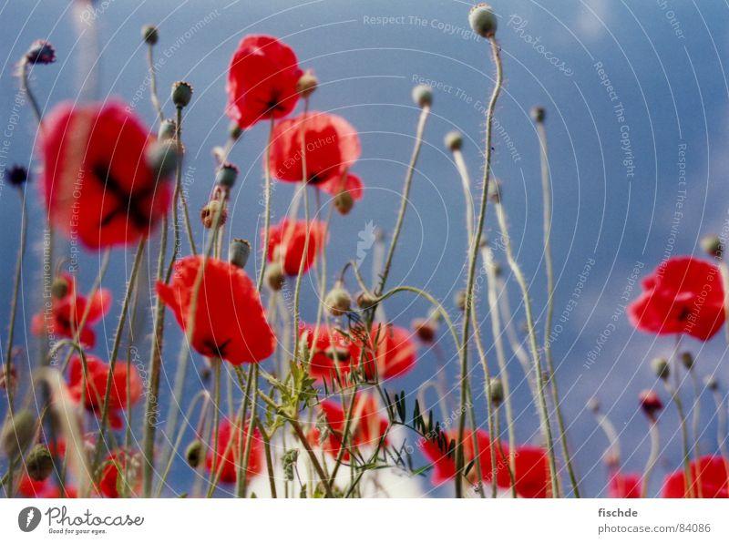 im mohnblumenfeld Mohn rot Blume Feld Froschperspektive Himmel Blauer Himmel Perspektive Blumenwiese Wiese Blüte Gras Sommer in der natur Natur flower sky