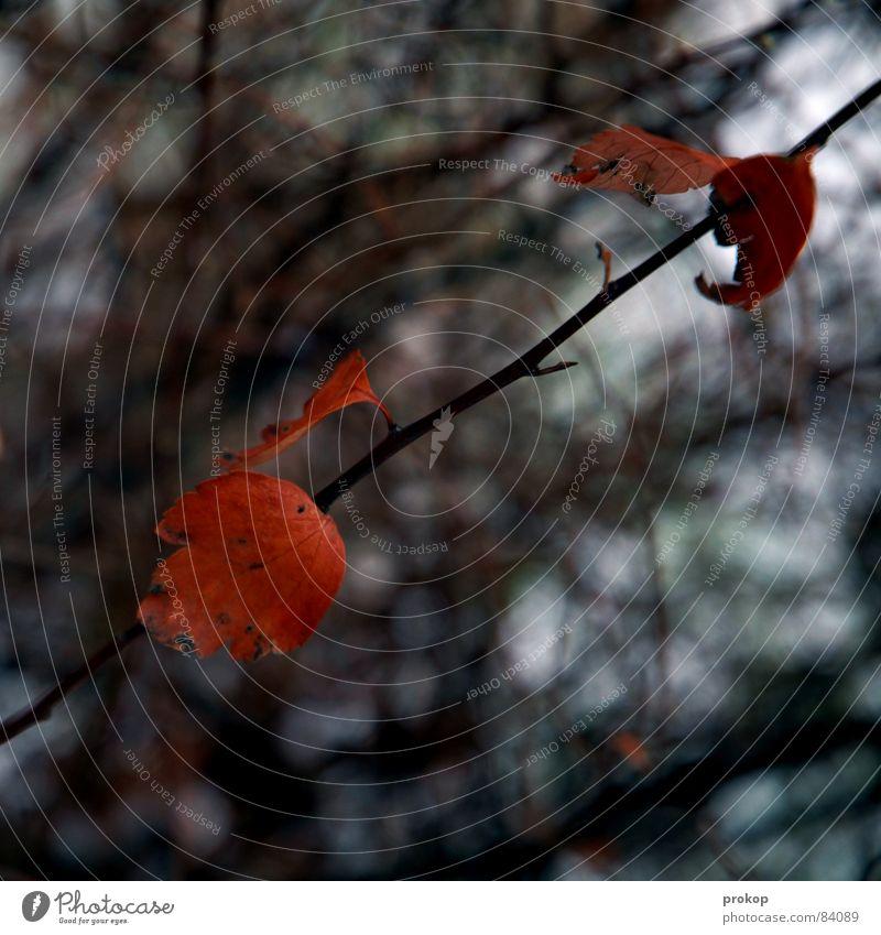 Prokop judigrafiert Blätter Blatt Tiefenschärfe Sträucher Baum rot Gefäße quer Herbst Winter einzeln einzigartig diagonal kalt Eis Einsamkeit Naturphänomene