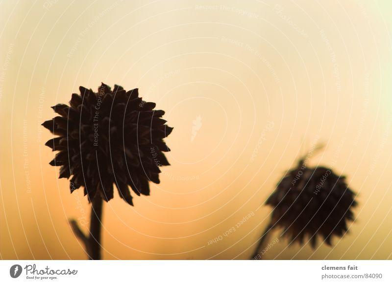 zwei schwarze Blume Winter gelb Tod Blüte 2 orange trocken Verlauf hart zweifarbig