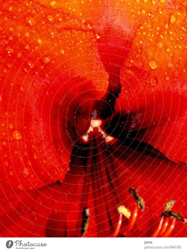 Einblick Blume rot Blüte Wassertropfen Stempel Amaryllisgewächse