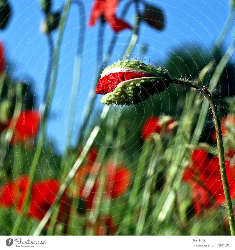 Vollmohn tiefgründig Klatschmohn geplatzt aufgebrochen Blume Mohn rot zart stachelig offen knallig mehrfarbig frisch aufdringlich Blühend Frühling Blumenstrauß