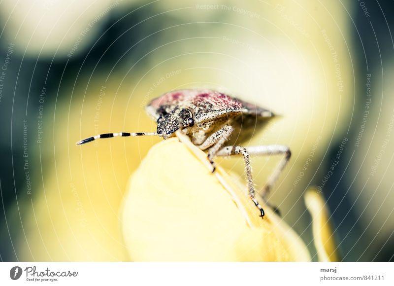 Stinkwanze! Frühling Sommer Schönes Wetter Tier Wildtier Tiergesicht Fühler Insekt Wanze 1 beobachten Erholung krabbeln leuchten Blick außergewöhnlich Duft