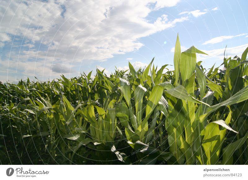 Maisfeld Feld grün Wolken Gemüse Sommer Himmel