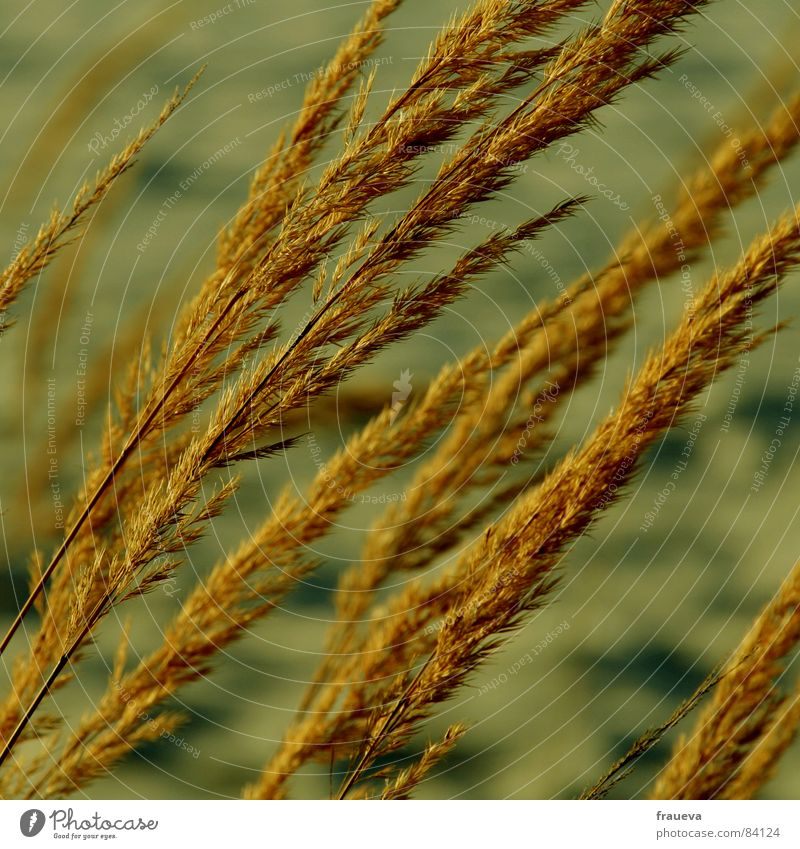 wind im haar Gras gelb Pflanze Pflanzenteile Grasland Röhricht beige Botanik Winter Wildpflanze Wind wehen gelblich braun Traurigkeit