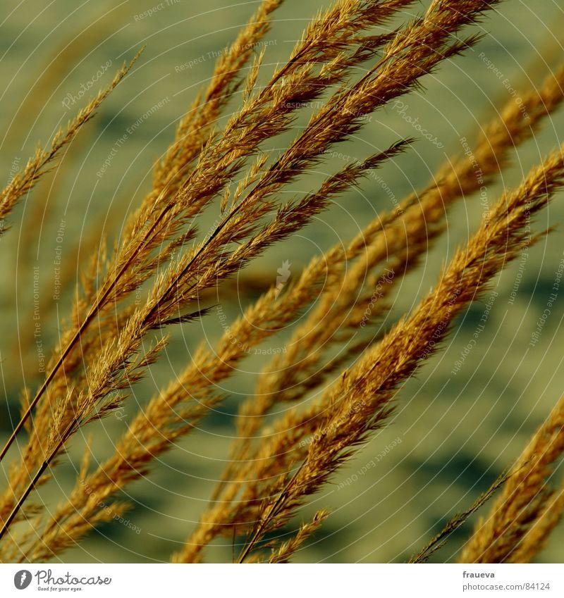 wind im haar Pflanze Winter gelb Gras Traurigkeit Wind Botanik Grasland beige wehen Röhricht Pflanzenteile Wildpflanze