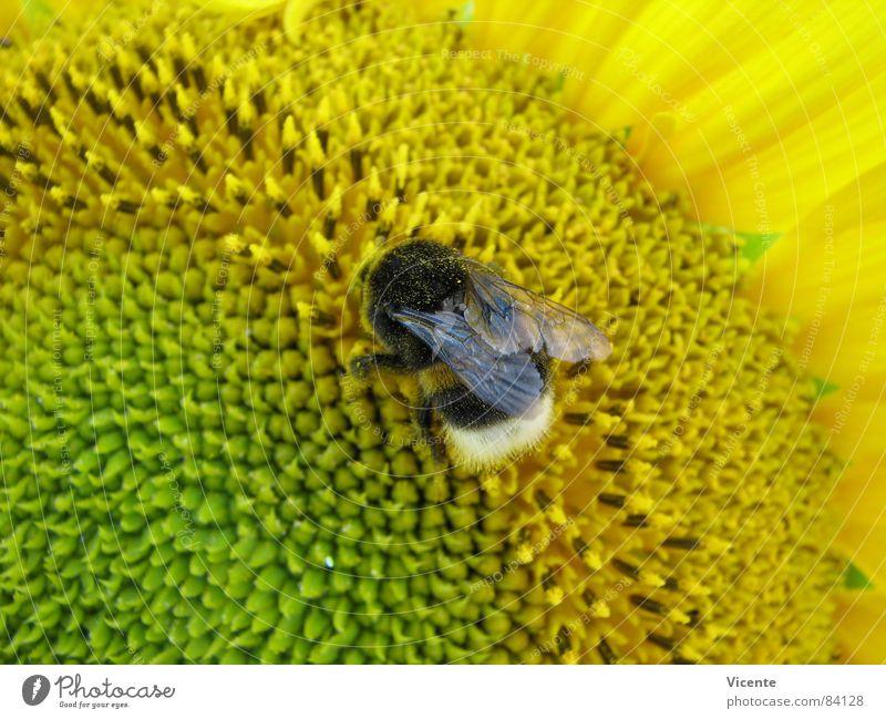 Mr Bumble Bee @ Work Hummel Streifen Sonnenblume Pollen Blume gelb grün Insekt Sammlung Arbeit & Erwerbstätigkeit Sommer Makroaufnahme Nahaufnahme Pflanze Tier