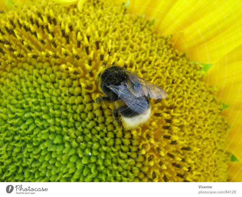 Mr Bumble Bee @ Work Natur grün Pflanze Sommer Blume Tier gelb Ernährung Arbeit & Erwerbstätigkeit Flügel Streifen Insekt nah Sammlung Fressen Sonnenblume