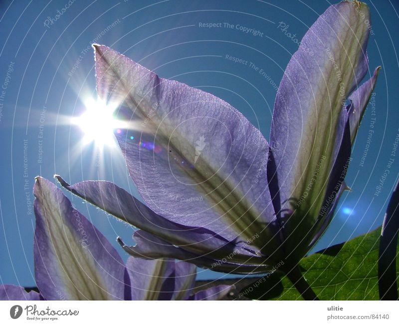 Sunshine violett Blume Sommer Pflanze Fröhlichkeit Gute Laune Frühling Blüte beschwingt Himmelskörper & Weltall Waldrebe Sonne Garten blau Stern (Symbol)