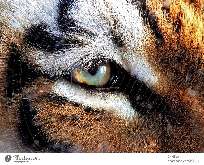 Tigerauge Tier Zoo Fell Wimpern weiß braun Katze Säugetier Makroaufnahme Nahaufnahme schön Auge Natur Blick Regenbogenhaut grosskatze Wildtier Katzenauge