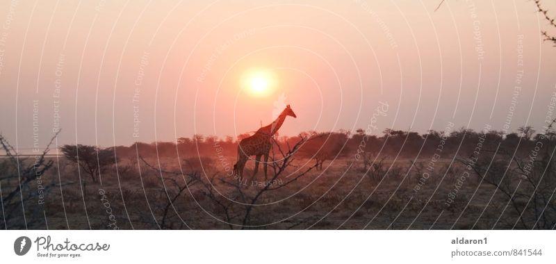 Giraffe in freier Wildbahn Natur Landschaft Pflanze Tier Himmel Sonne Schönes Wetter Wärme Gras Sträucher 1 ästhetisch exotisch Ferne gigantisch Kitsch