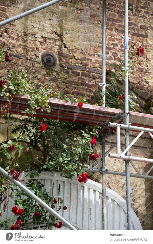 rose auf gerüst. Häusliches Leben Hausbau Renovieren Gartenarbeit Baustelle Handwerk Baugerüst Pflanze Rose Blüte Park Ruine Bauwerk Gebäude Architektur Mauer