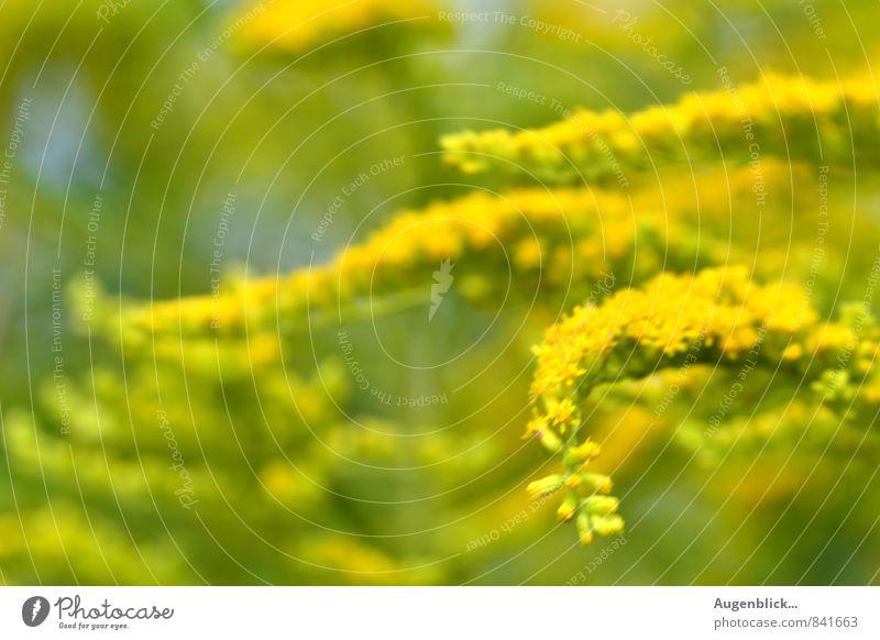 noch ist Sommer... Umwelt Natur Landschaft Sonne Schönes Wetter Pflanze Gras Sträucher Wildpflanze Wiese Feld frisch saftig gelb grün Frühlingsgefühle