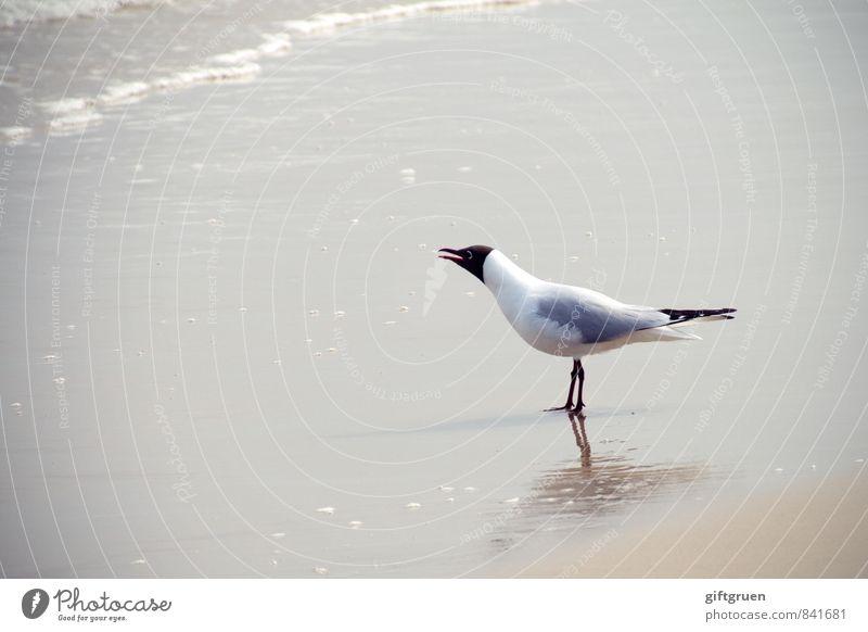 """""""kurt, und vergiss' den fisch nicht!"""" Umwelt Natur Landschaft Urelemente Sand Wasser Wellen Küste Strand Meer Tier Vogel 1 schreien Möwe Lachmöwe Schnabel Kopf"""
