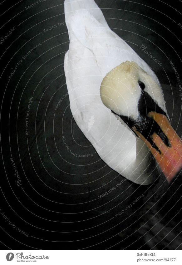 Le curieux cygne See Zürich See dunkel Schwan Federvieh Tier Lebewesen Vogel Schnabel Steg Schwanz Wellen Holz schwarz Neugier Appetit & Hunger schön edel