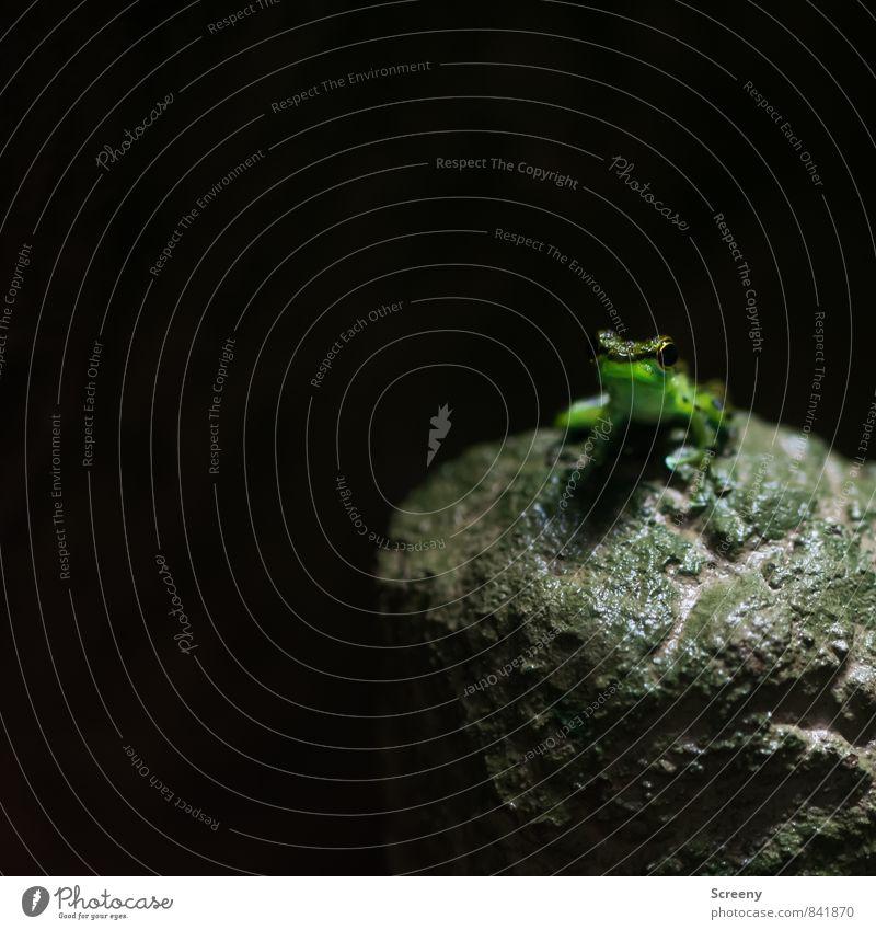 Kiss me... Natur Tier Frosch 1 sitzen glänzend klein grün Gelassenheit geduldig ruhig Neugier Einsamkeit einzigartig entdecken geheimnisvoll Farbfoto