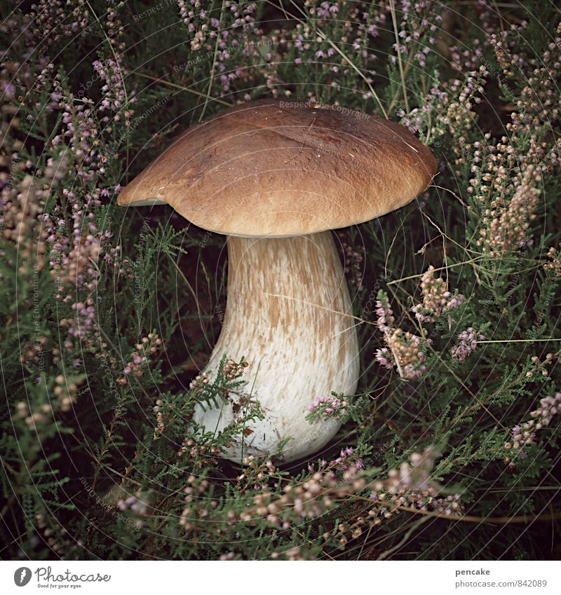 steini Lebensmittel Vegetarische Ernährung Italienische Küche Natur Herbst Nutzpflanze genießen Gesundheit Steinpilze Heidekrautgewächse Pilz Suche finden