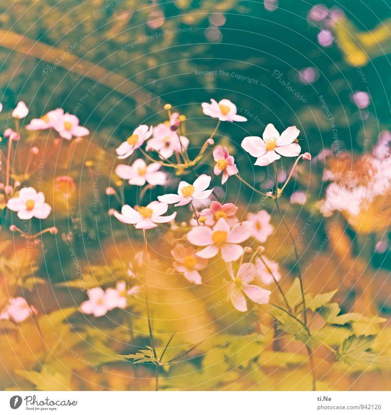 viele Blumen blühen Sommer Herbst Sträucher Blatt Blüte Anemonen Garten Wiese Blühend Duft verblüht ästhetisch frisch natürlich gelb grün rosa weiß Gefühle