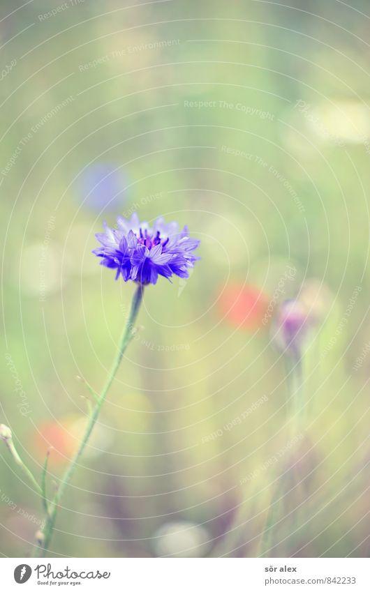 i Umwelt Natur Pflanze Sommer Blume Blüte Wildpflanze Kornblume Blumenwiese schön blau grün Geborgenheit Warmherzigkeit Treue Romantik friedlich Güte trösten