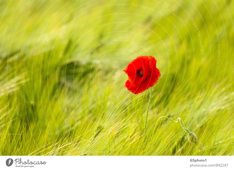 Frühsommermohn Ausflug Sommer Natur Pflanze Sonnenlicht Schönes Wetter Blume Blüte Wildpflanze Mohn Mohnblüte Wiese Feld grün rot Weizenfeld Getreidefeld