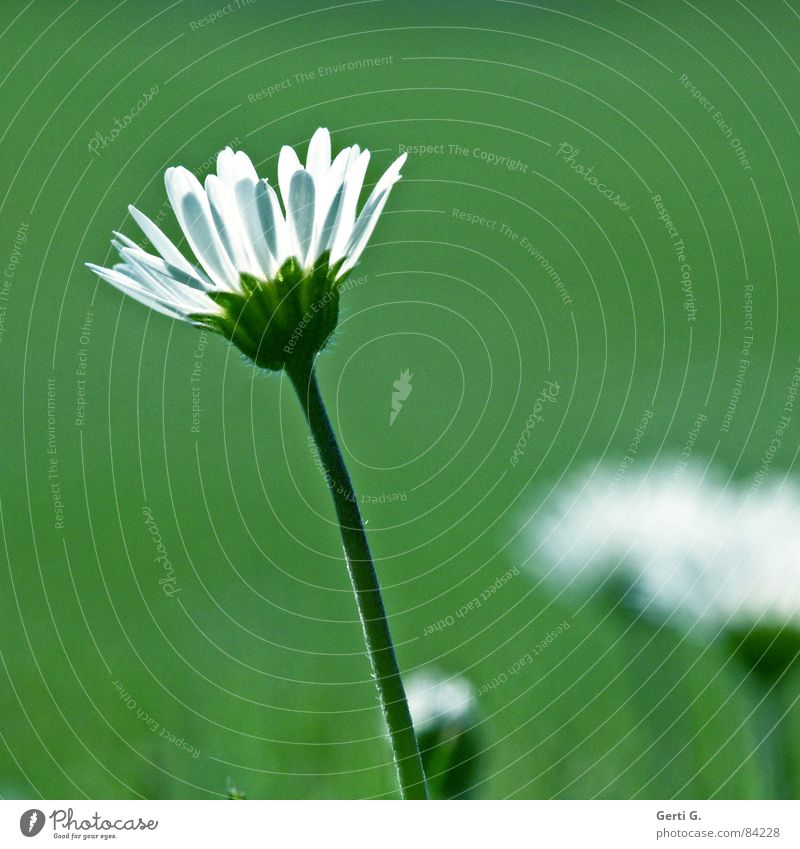 daisy's day Kräutertee Heilpflanzen Blüte Stengel Blumenwiese Margerite Natur Sommer Wiese Wiesenblume frisch Orakel Frühling sommerlich leicht beschwingt