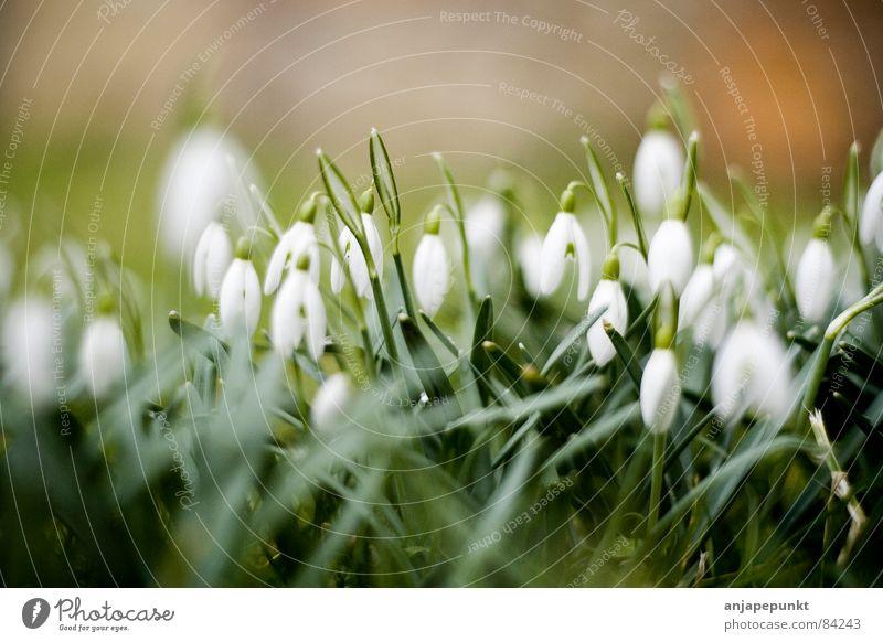 Schneeglöcken Blume grün Wiese Gras Schneeglöckchen