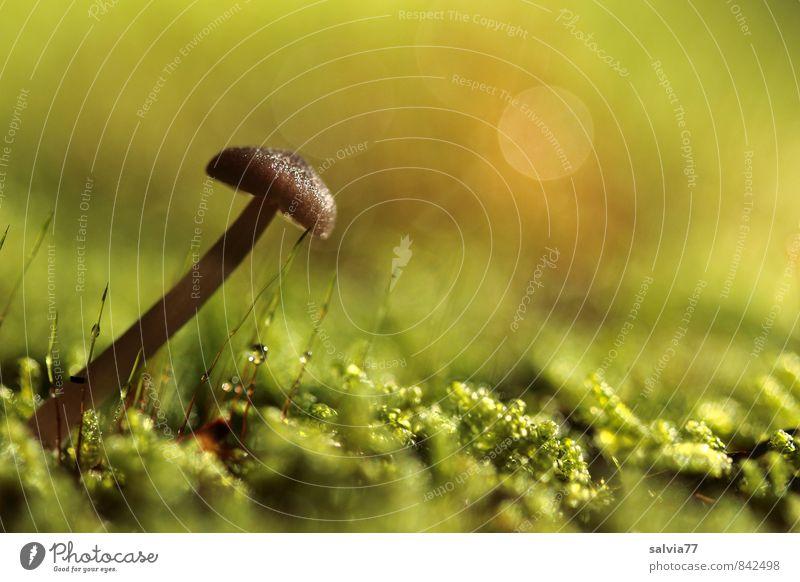 Schieflage Umwelt Natur Pflanze Erde Herbst Moos Wildpflanze Wald dünn klein nass natürlich weich braun grün ruhig Vergänglichkeit Wachstum Pilz Waldboden