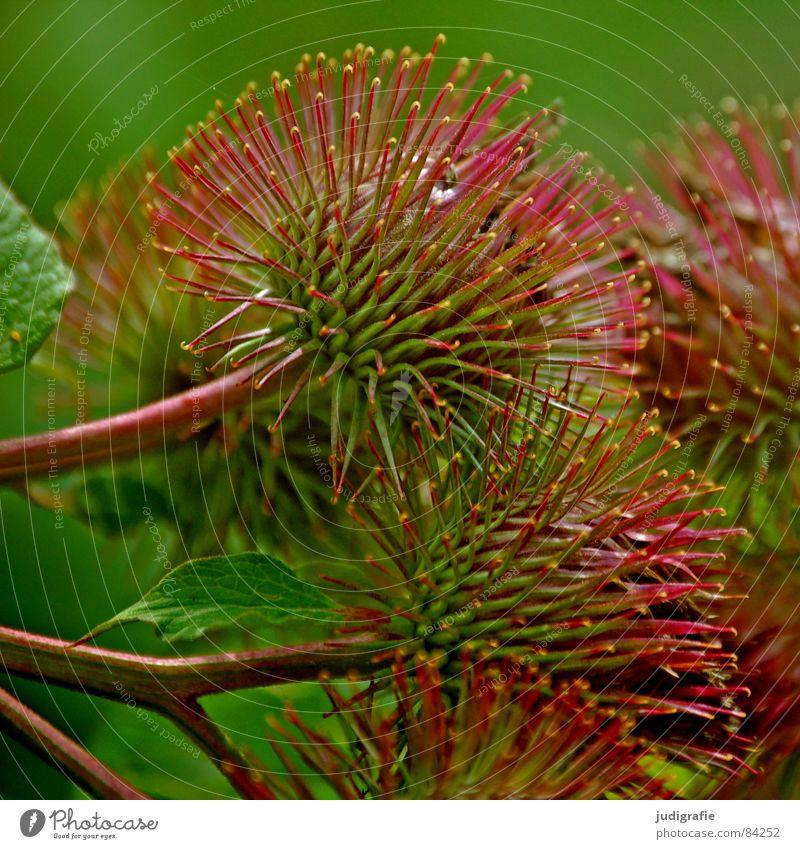 Distel stachelig Pflanze Igel schön Sommer rund Widerhaken Haken glänzend wehren Korbblütengewächs Wildnis Umwelt Wildpflanze Sicherheit wehrhaftig Spitze Kugel