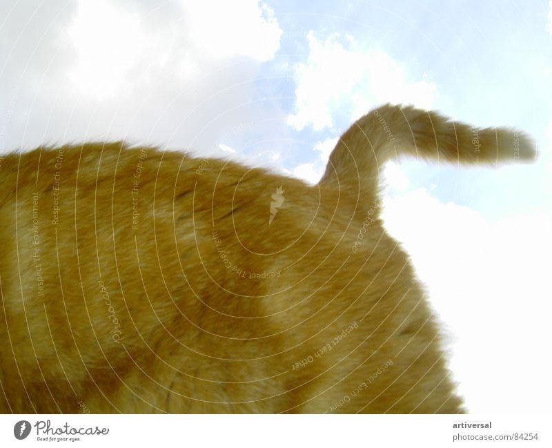 Die schnelle Katze Tier rot Schwanz kuschlig Fell Gegenlicht Hauskatze Katzenbaby schnuddelig Himmel flink Haare & Frisuren laufkatze