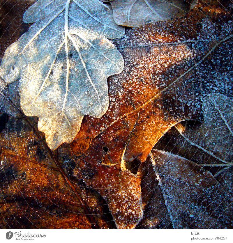 ICE AGE Pflanze Winter Blatt kalt Schnee Herbst Eis Stimmung braun Umwelt frisch Frost Klima gefroren Eiskristall Blattadern