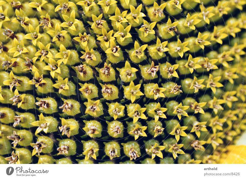 Sonnenblumenöl in spe 2 Pflanze Blüte Blühend Samen Makroaufnahme Feldfrüchte Sonnenblumenkern