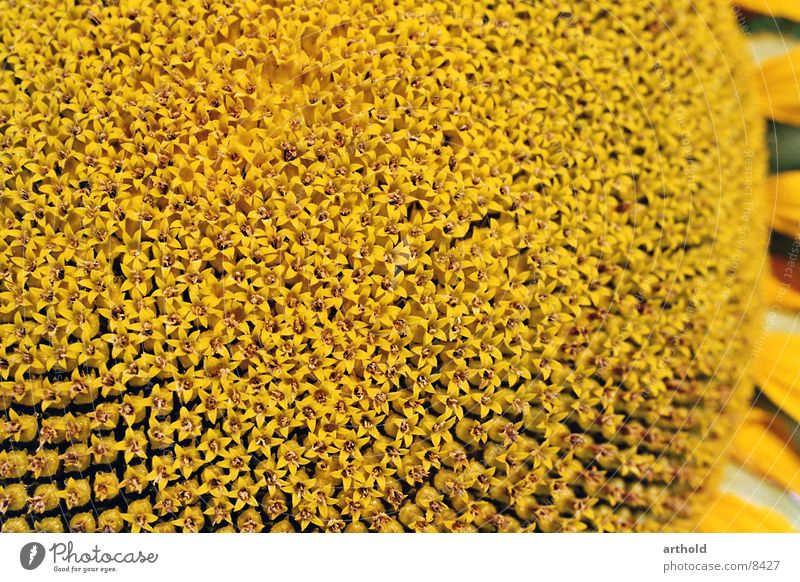 Sonnenblumenöl in spe 1 Pflanze Blüte Blühend Samen Makroaufnahme Feldfrüchte Sonnenblumenkern