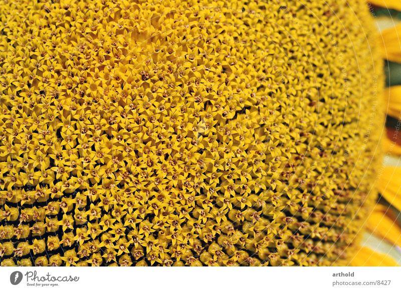 Sonnenblumenöl in spe 1 Sonnenblumenkern Feldfrüchte Blüte Makroaufnahme Pflanze Blühend