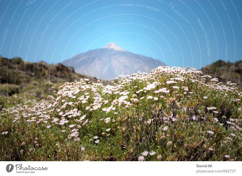Vulkan Teide auf Teneriffa Natur Ferien & Urlaub & Reisen Pflanze Sommer Sonne Blume Landschaft Ferne Berge u. Gebirge Tourismus Sträucher wandern Insel Ausflug