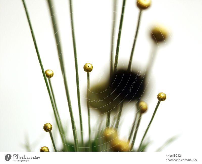 golden plant Kugel Blume Pflanze grün Stengel rund Blumenstrauß Botanik Halm Pflanzenteile Blumenhändler Kreis Gras Gold Dekoration & Verzierung Makroaufnahme