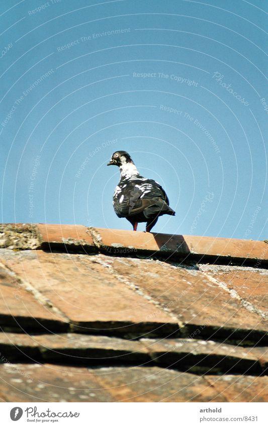 Ausschau halten 2 Taube Vogel Federvieh
